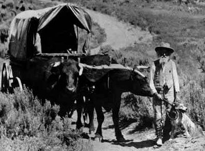 Ezra Meeker with his oxen Dave and Dandy.
